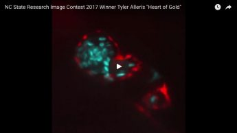 "First place for video among graduate students and postdocs goes to Tyler Allen, a Ph.D. student in NC State's Comparative Biomedical Sciences program, for the glowing video he titled ""Heart of Gold,"" showing how researchers study zebrafish hearts for their potential to help humans with heart diseases. (The video can be seen at the top of this post.)"