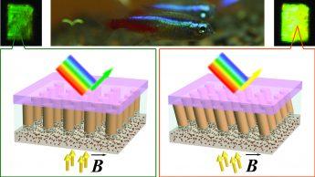photo of tetra fish and two diagrams of nanocolumns