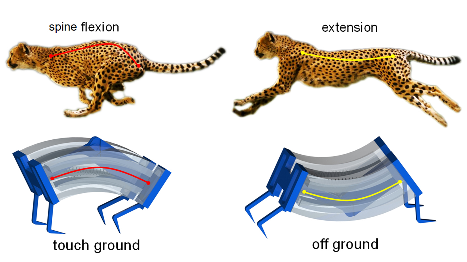 diagram shows how soft robot design was inspired by cheetahs