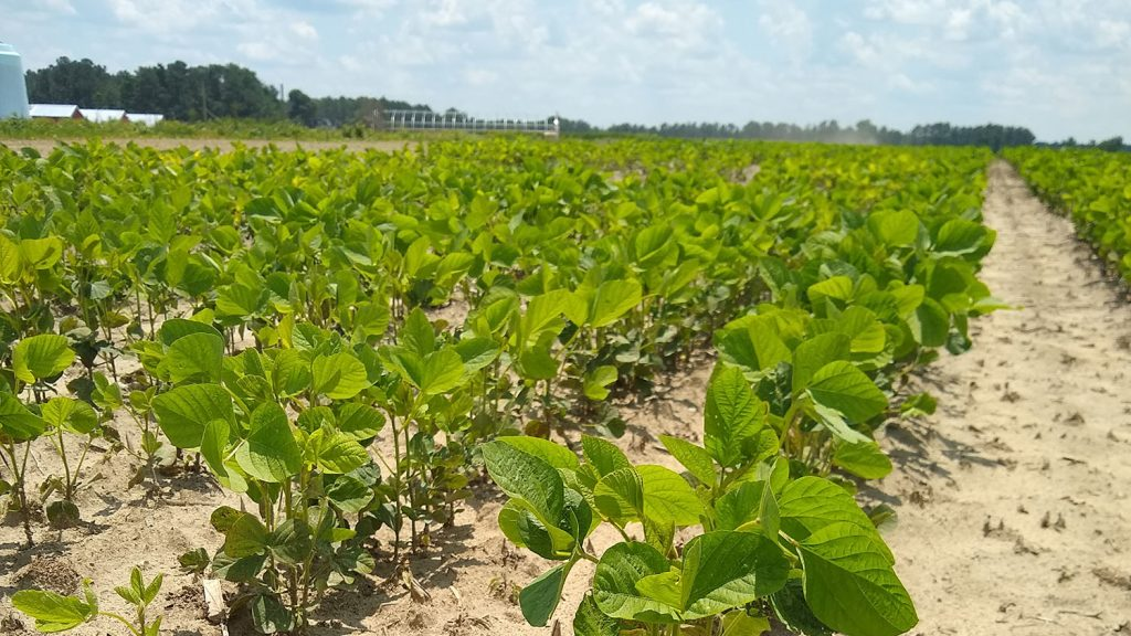 A sandy field of soybeans